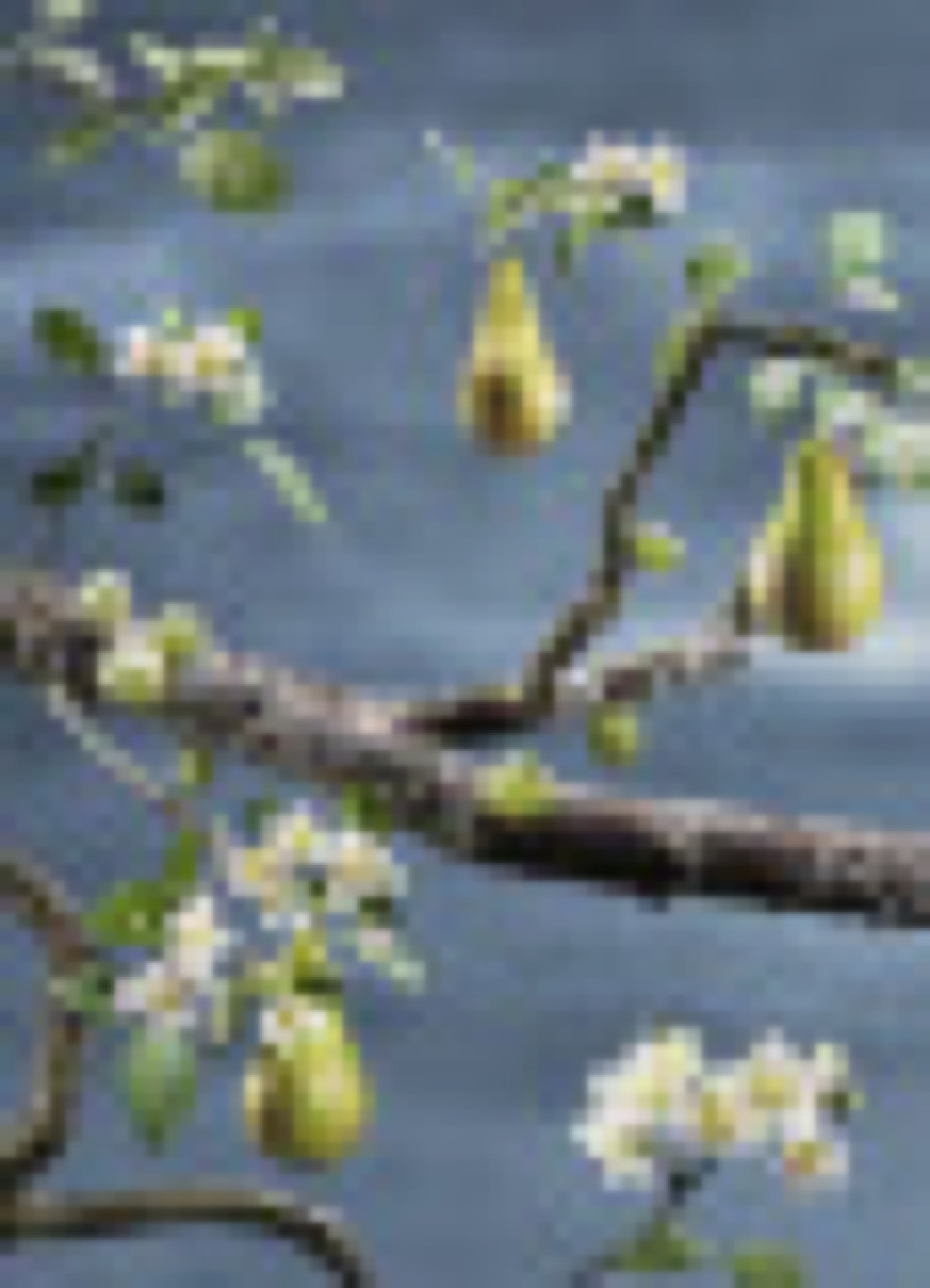 Loka Päron/Krusbär