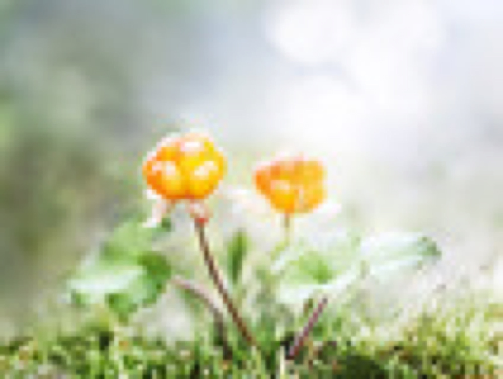 Cloudberry Nature