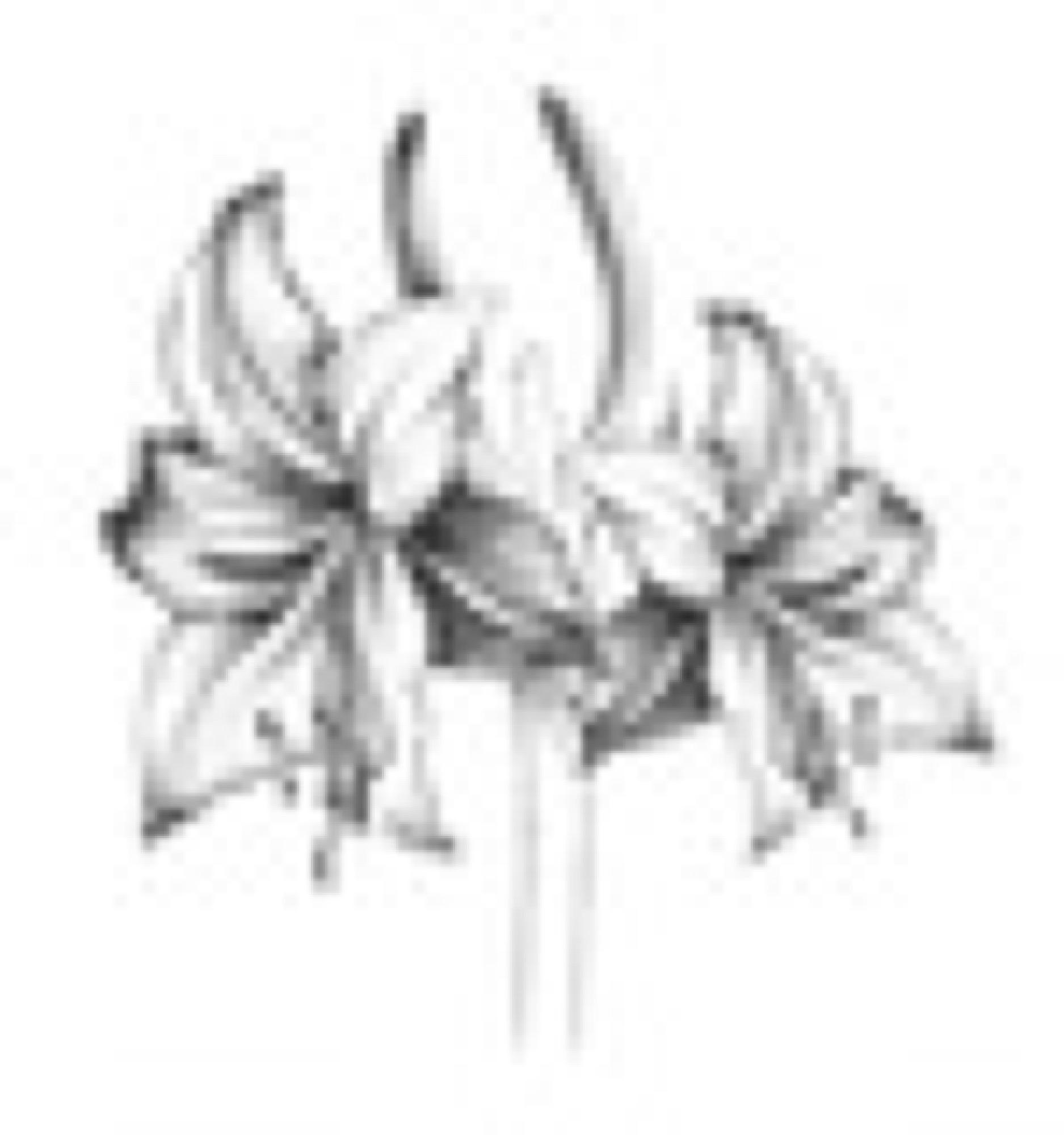 amaryllis sagamariah